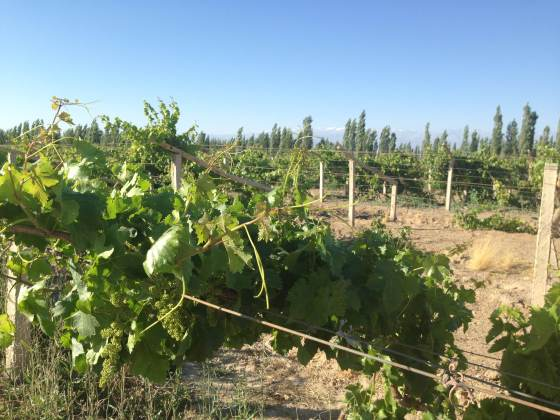Vines at the Chateau Mutton-Rothschild are growing healthily